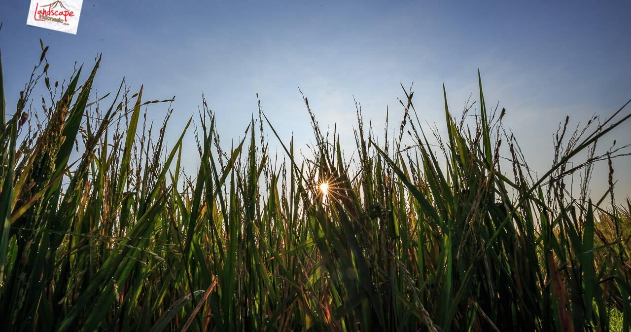 gerhana matahari 3 - mengamati gerhana matahari sebagian di tepi sawah