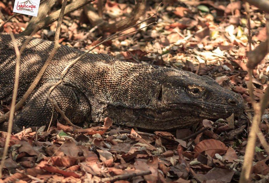 komodo pesonaindonesia 16 tn - Bertemu Sang Naga di pulau Komodo