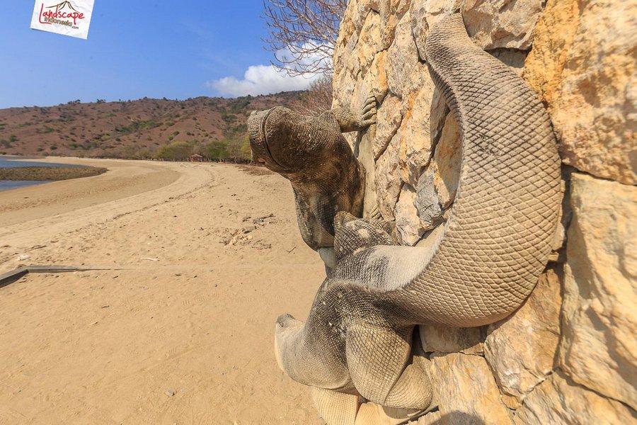 komodo pesonaindonesia 5 tn - Bertemu Sang Naga di pulau Komodo