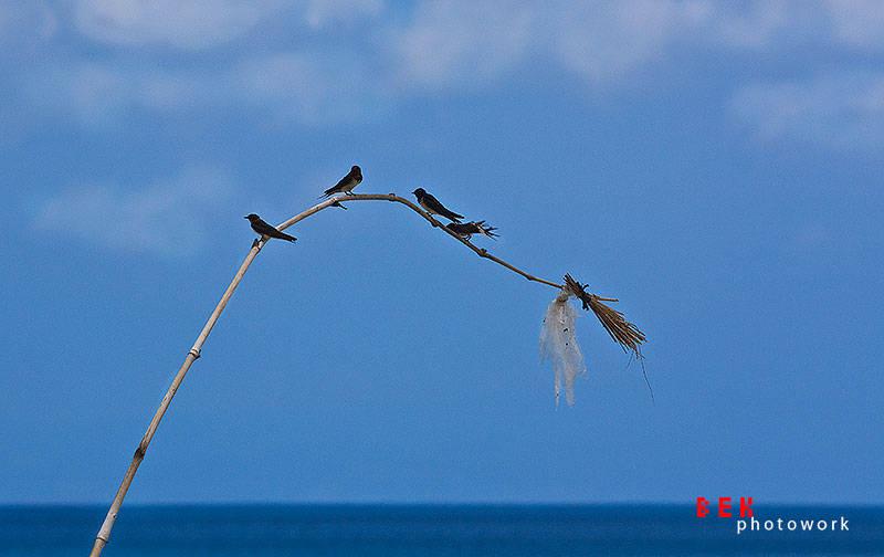 burung bangko - lombok (still) hidden paradise (2 siang)