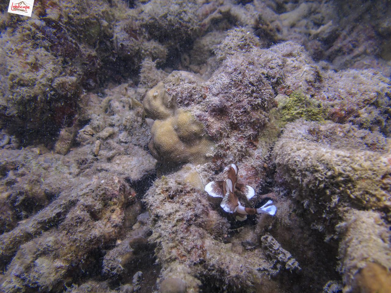 night dive 6441 - Night Dive di Pulau Pramuka
